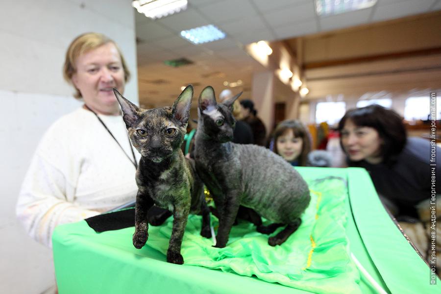 Котята Корниш-рекс фото с выставки кошек