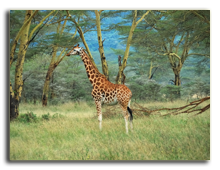 Кения. Озеро Накуру. Lonely masai race giraffe in the Lake Nakuru national park. Фото znm666 - Depositphotos