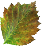 jsn_round4_mopb_leaf.png