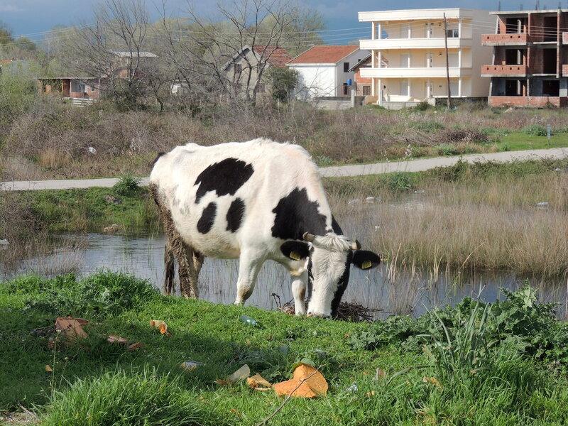 Черногорская корова )))