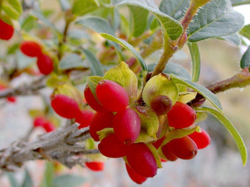 Красна-ягода