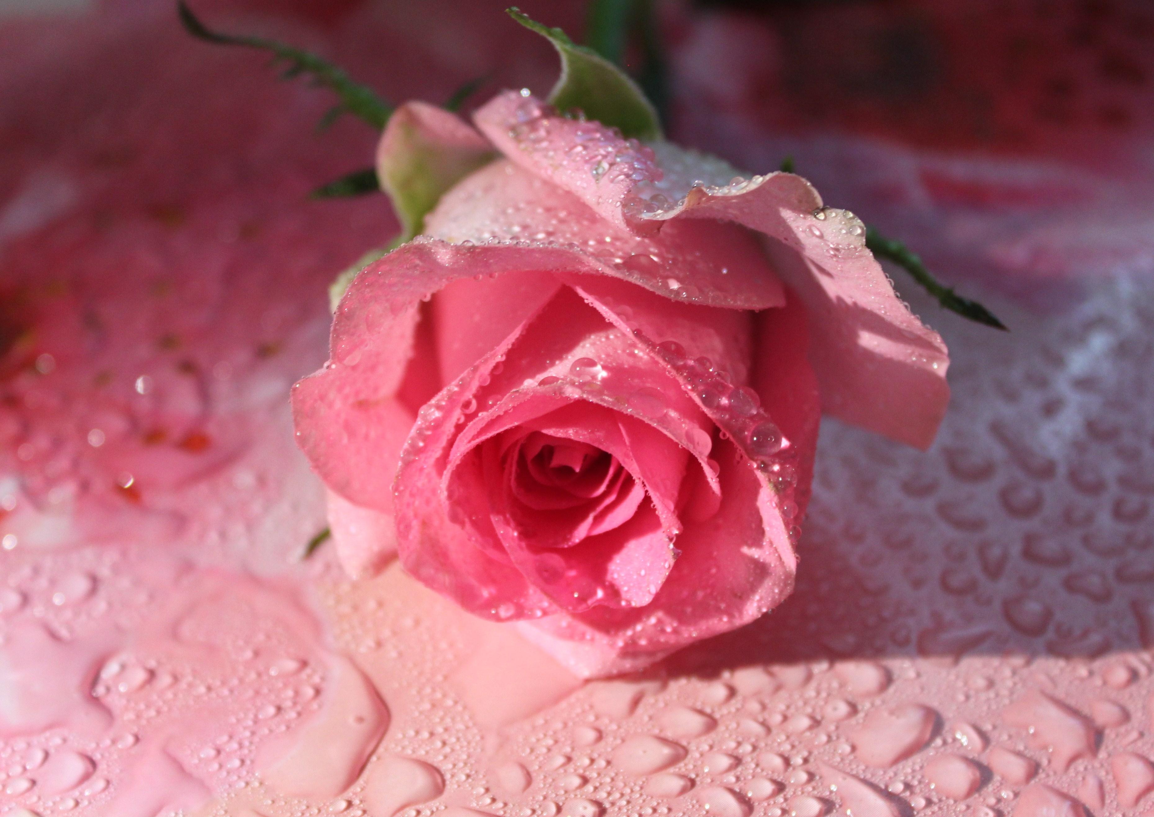 Анимации картинки розовые розы, смешные приколы