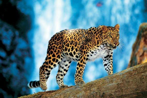 Амурский леопард, дальневосточный леопард