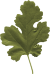 dp_mtw_Leaf1.png