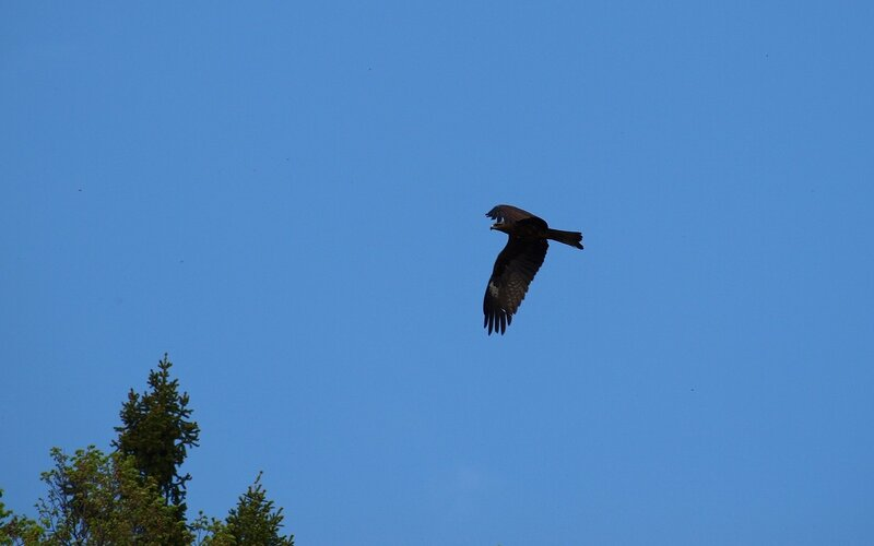 Чёрный коршун (Milvus migrans) P5172673.jpg