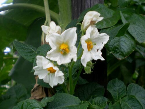 Цветение картофеля