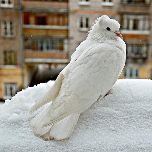 Белоснежка – хохлатый голубь мира!