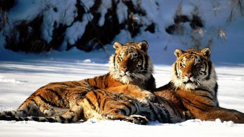 Стая амурских тигров расслабляется после сытного обеда 0 141aec 68613247 orig