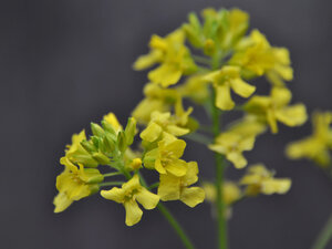 Brassicaceae