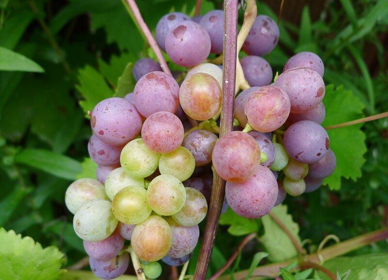 Виноград Зилге
