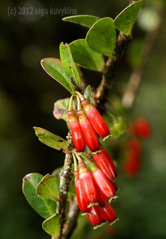 Агапетес (Agapethes hosseana)