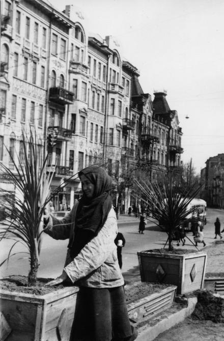 1950.10.17. Работница райпромхоза Молотовского района производит посадку пальм-драцен на улице Артема