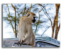 Кения. The Monkey in the park in the Kenya. Фото SkyNex - Depositphotos