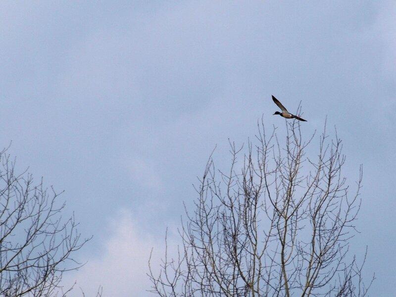Утка летит над кустами у разлившейся Вятки P4261001