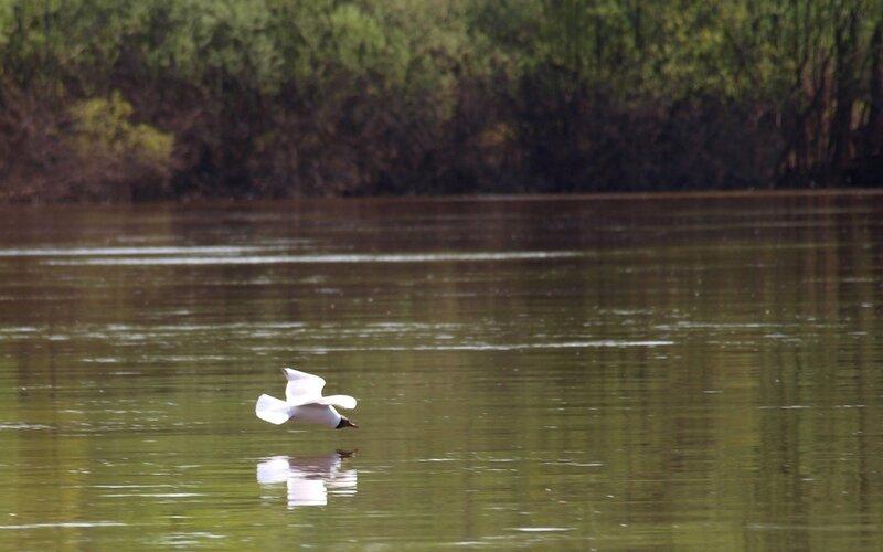 Чайка на бреющем полёте над рекой P5172919