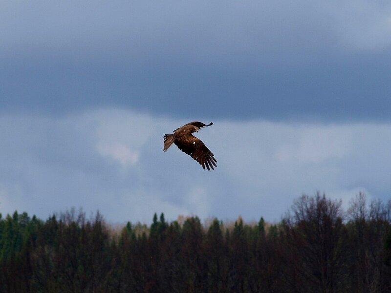 Чёрный коршун (Milvus migrans) P5021642.jpg