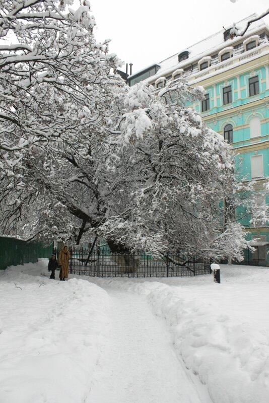 Старая липа под снегом