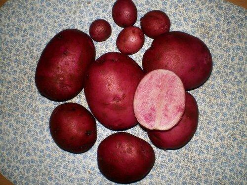 Красный картофель All Red.