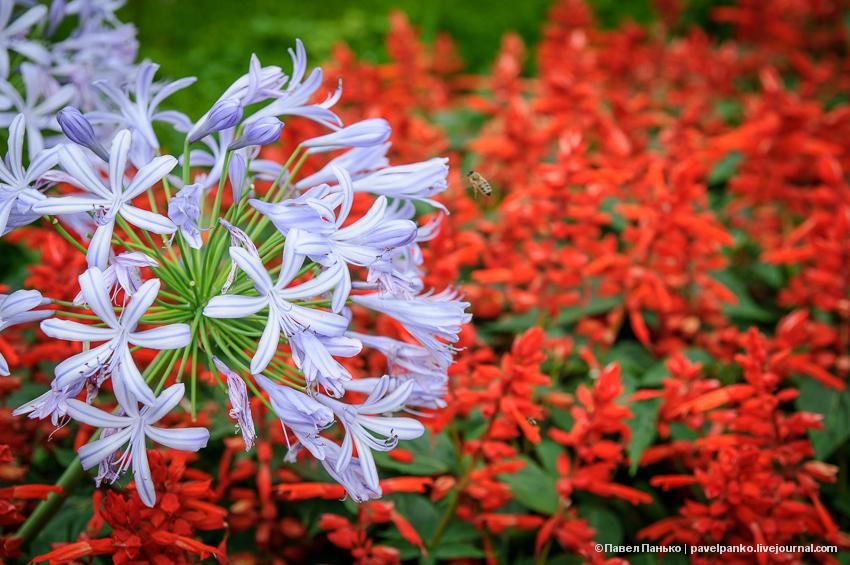 Абхазия цветы роса pavelpanko