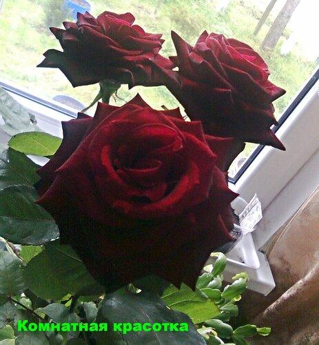 Розы горшечные