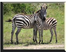 Кения. Масаи Мара. Фото А. Синицына