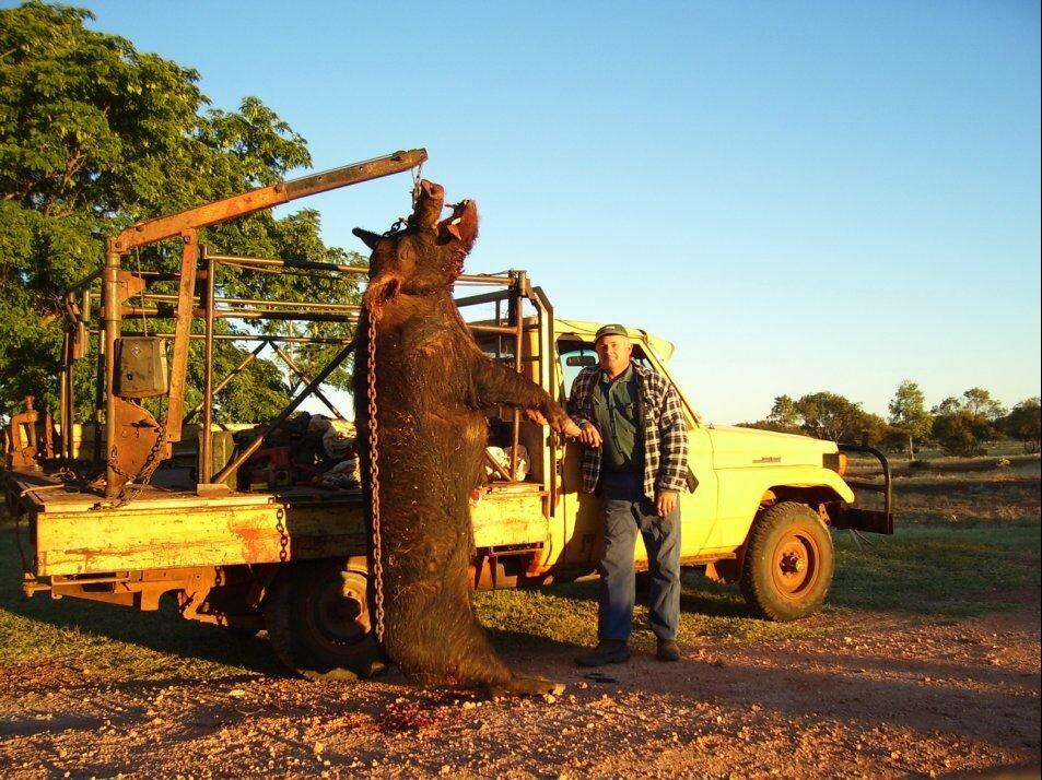 Австралийский фермер словил свинью, которая ела его собак