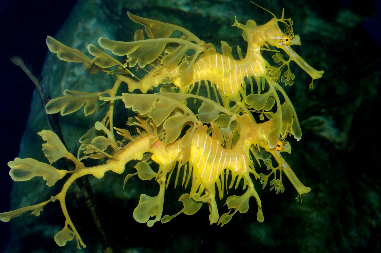 Syngnathidae, Phycodurus eques