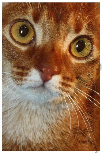 Лаптева-фото - Фотографии животных для питомников и заводчиков 0_b8036_ae66beab_L