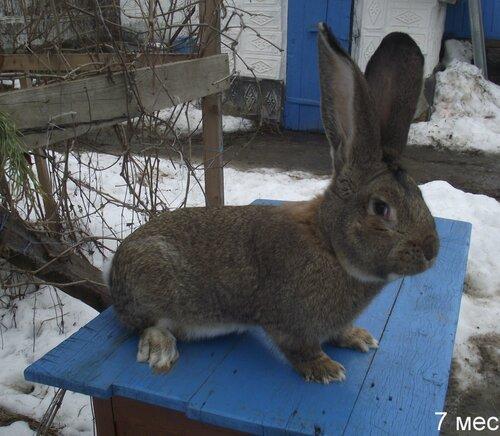 Бельгийский Великан(Обр,Ризен,Фландр) Кролики гиганты.часть 2 0_9ad78_76cd78a1_L
