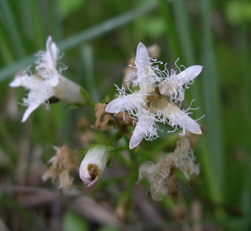 Вахта трехлистная (Menyanthes trifoliata) Автор фото: Привалова Марина