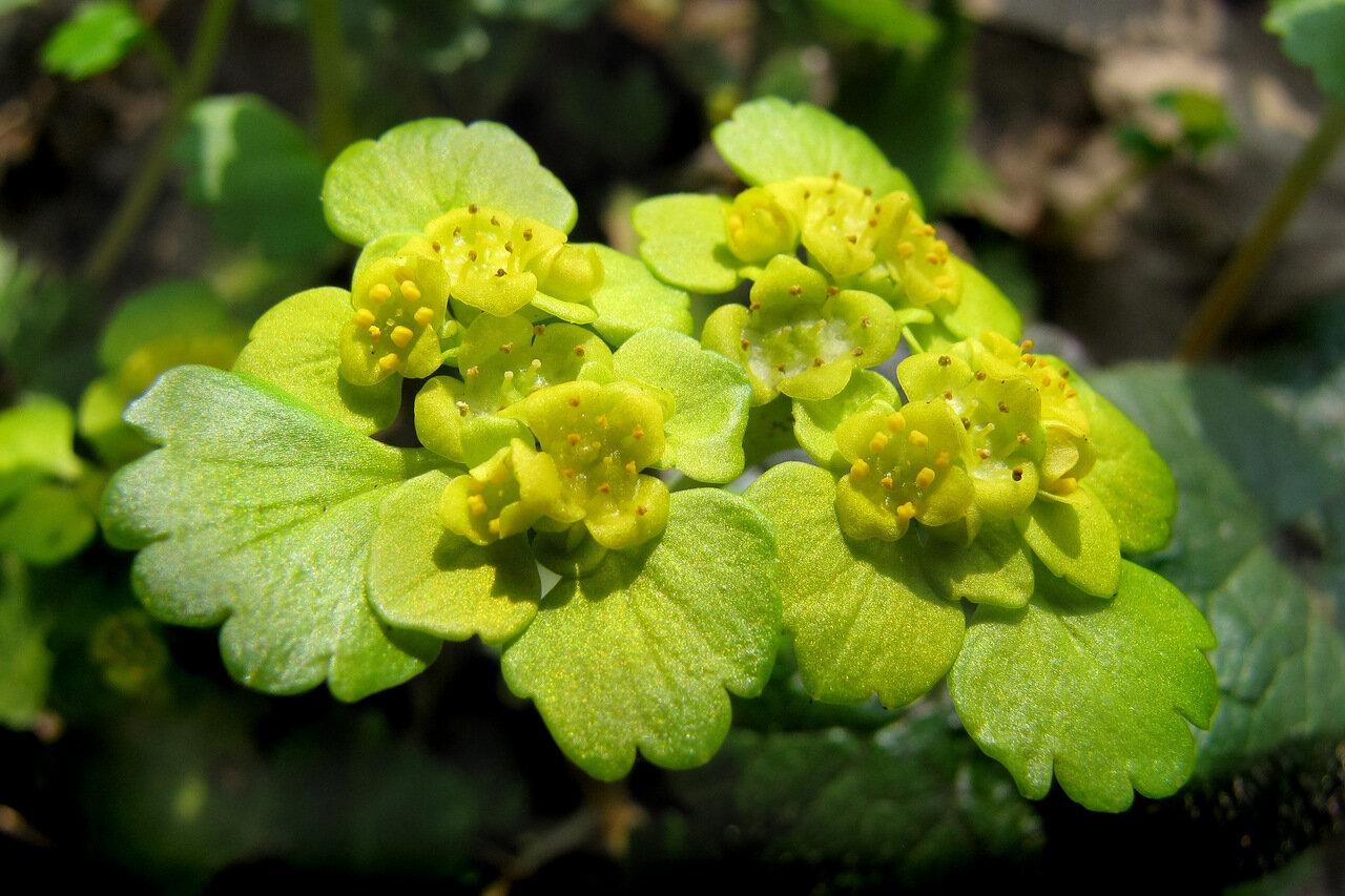 Селезеночник очереднолистный (Chrysosplenium alternifolium) Автор фото: Привалова Марина