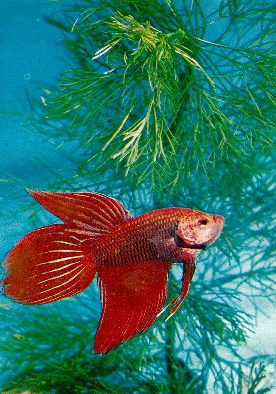Петушок, бойцовая рыбка Betta splendens (Regan)