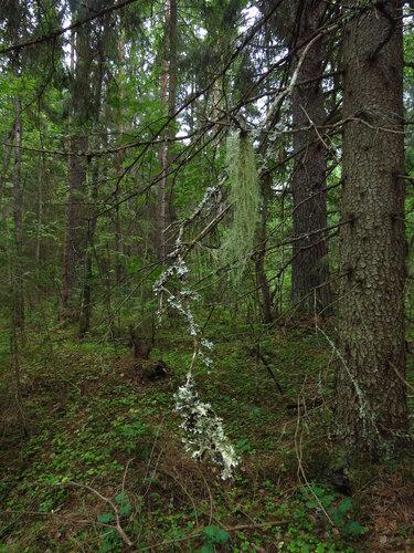 моховое болото там мох камыши голые сосна-гх1