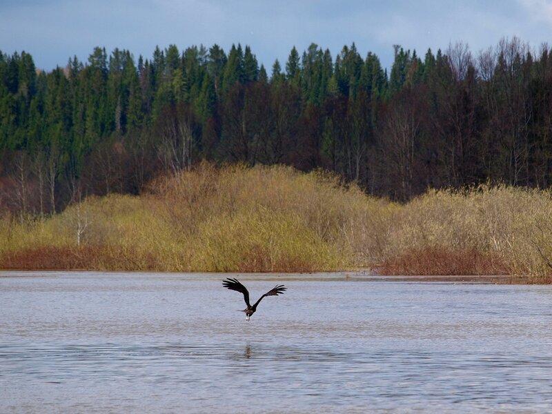 Чёрный коршун (Milvus migrans) P5021636.jpg