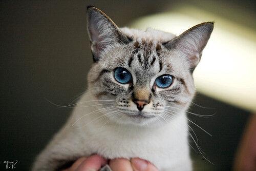 Тебби-пойнт тайские коты