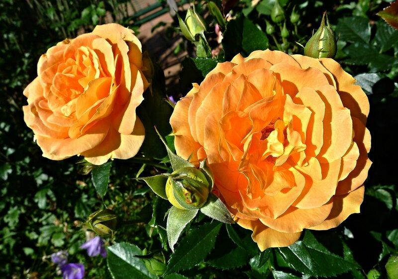 Роза Гольдэльза