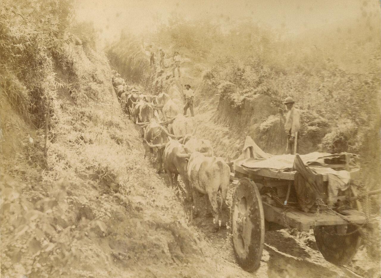 Караван волов, принадлежащих The Saint John d'El Rey Company на горной дороге, ок. 1893 года