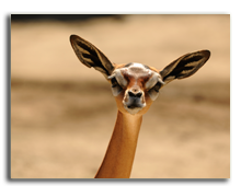 Кения. The Gerenuk (Litocranius walleri), also known as the Waller's Gazelle. Фото SURZet - Depositphotos