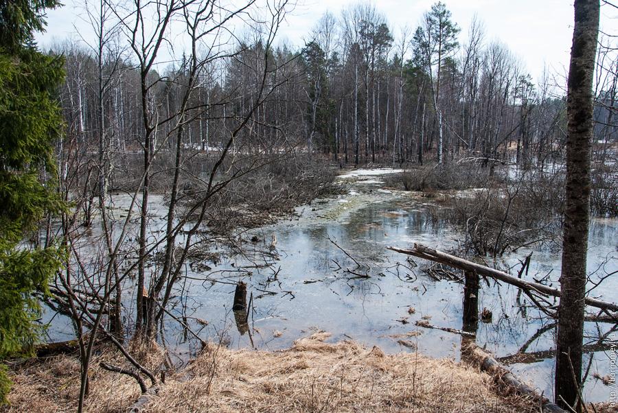 болото в лесу
