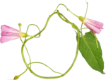 Lilas_Greedy-Pink_elmt (113).png