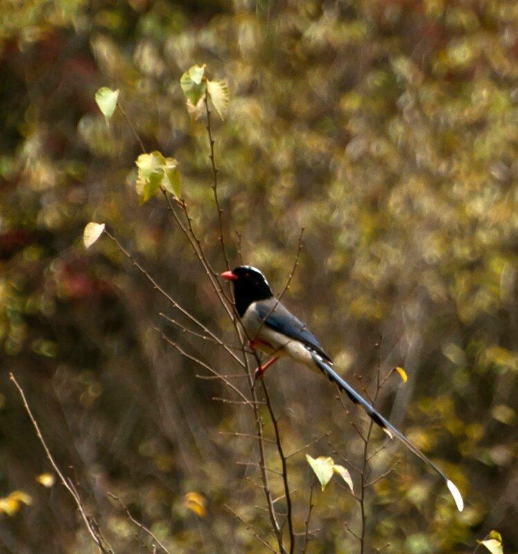 Китайская жар-птица