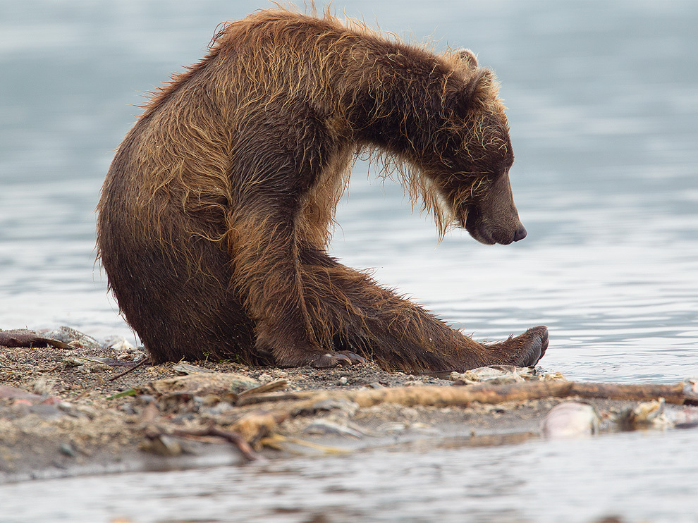 есть картинки мокрый медведь сильно прогретую