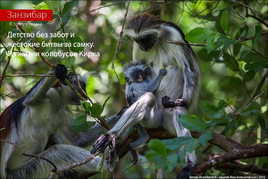 Занзибарский колобус / Zanzibar colobus