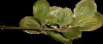 Lilas_btd_foliage8.png