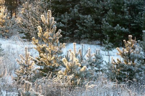зимняя прогулка сосенки