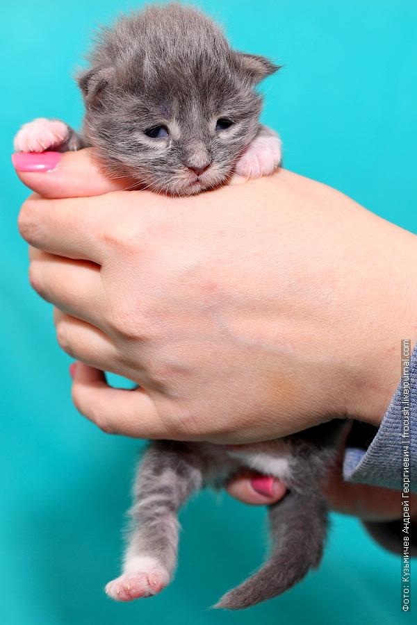 недельный котенок мейн кун