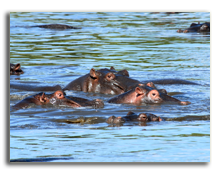Кения. Hippopotamuses swimming in shallow water of the Masai Mara Reserve (Kenya). Фото dibrova - Depositphotos