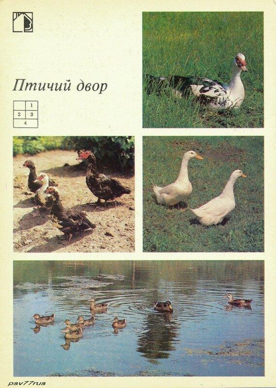 1—2. Мускусные утки. 3. Пекинские утки. 4. Серые украинские утки.