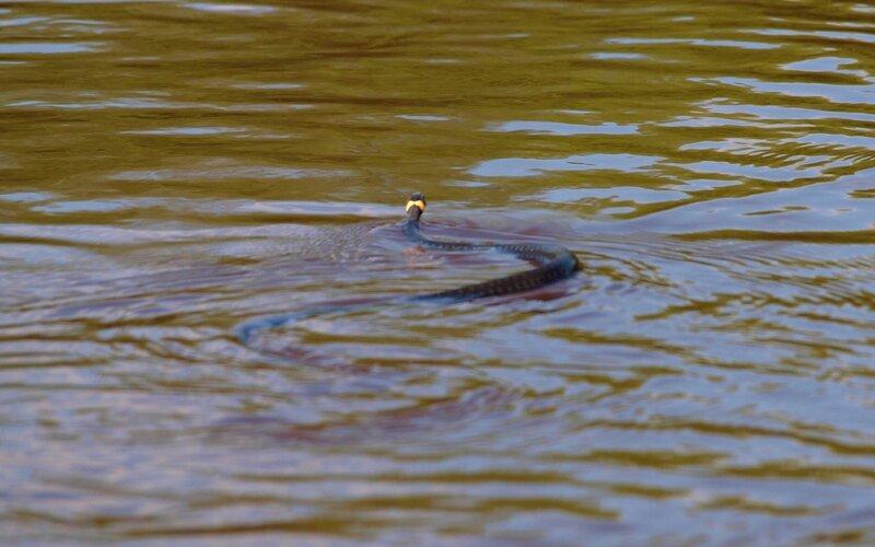 уж обыкновенный (Natrix natrix) плывёт по реке Вятке P5172830.jpg