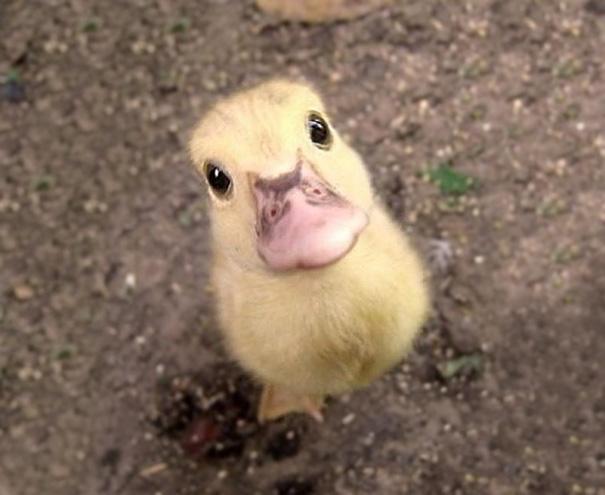 Блоги. Детеныши животных. Детёныш, хамелеона, Бегемотик, ничего, Детеныш, свете, животные, милее, недавно, увидевшие, Источник, Поросёнок, Крольчонок, Хомячок, иглобрюха, Лисенок, шиншиллы, скунса, Жеребёнок, тюленя